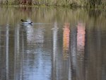 Lovely winters day a duck and a pretty reflection