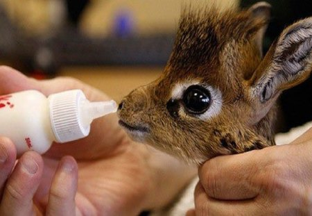 dik dik - cute, giraffe-like, similar to giraffe, animal