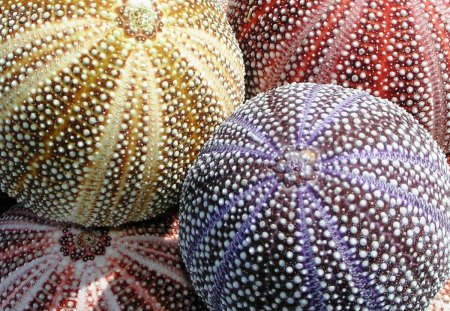 Colorful Sea Urchins - nice, cool, great, sea