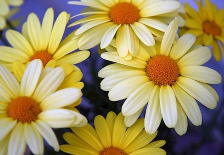 Cheerful daisies flowers nature background wallpapers for Cheerful nature