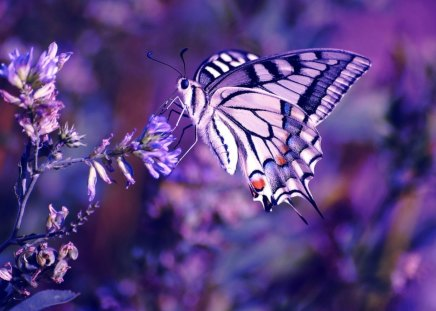 beutiful purple buttefly - butterfly, animals, purple, beautiful