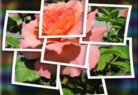 ♥ Lovely Rose ♥ - rose, summer, roses, frame, collage, abstract, framed rose, summer rose