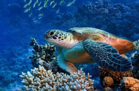 Red sea diving - water, turtle, fish, coral
