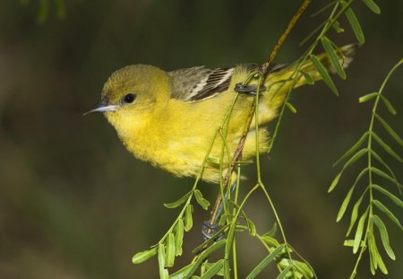 Female Orchard Oriole - animals, orioles, yellow, femals, birds