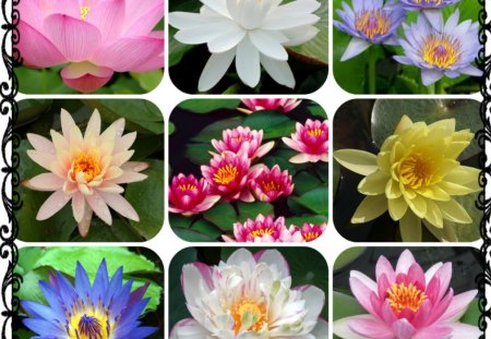 WATER LILIES - water, pretty, lilies, collage