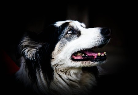Phelia, old Border Collie