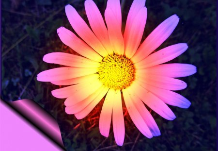 ♥      ✿ Glowing Daisy ✿     ♥ - flower, glowing, meadow, pink, abstract, mind teaser, nature, daisy