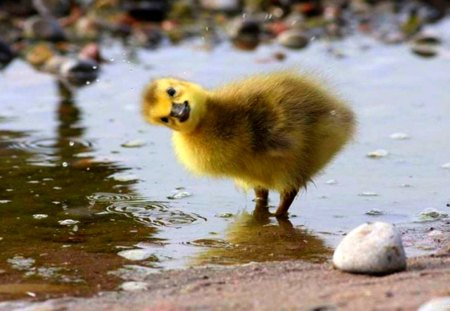 happy duckling birds amp animals background wallpapers on