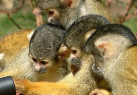 MANY HANDS MAKE LIGHT WORK - tropical wildlife, apes, teamwork, mischief, cuties, primates, monkeys, curiosity