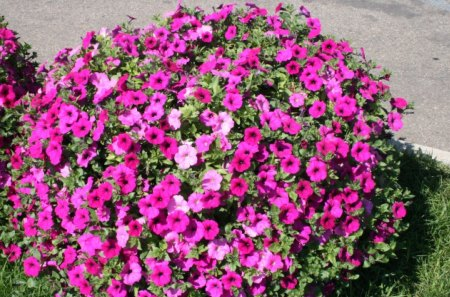 Flowers on a picnic day at the park 14 - flowers, Photography, pink, petunias, red