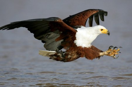 african fish eagle - water, fish, eagle, bird