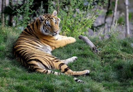 amur tiger - tiger, lage, trees, resting, grass, woods
