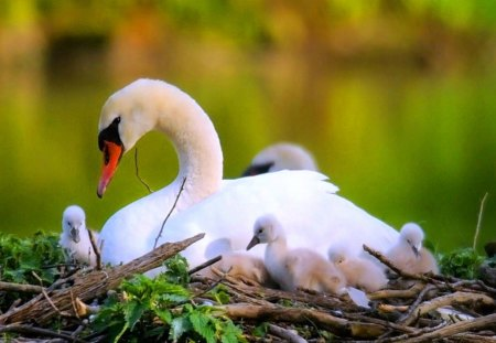 The nest - swan, young, twigs, mother, grass, love, nest, beauty