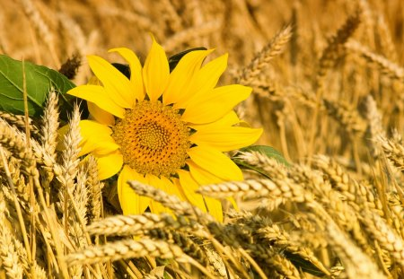 Sunflower - flowers, beautiful, wheat, sunflower, pretty, lovely, beauty, yellow, flower, sunflowers, nature