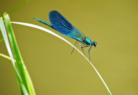 LUMINESCENT BLUE - dragonflies, blue, metallic, insects, water creatures