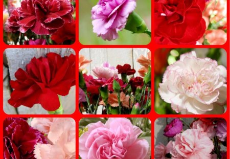 CARNATIONS - pretty, red, pink, carnations