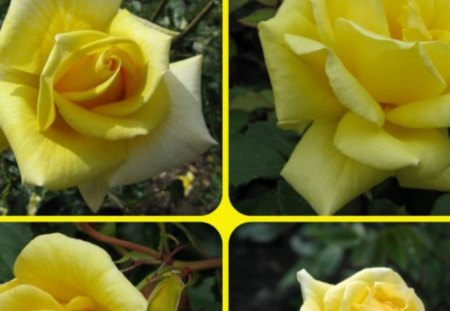YELLOW ROSES - pretty, roses, yellow, collage