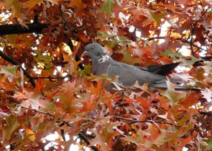 Dove in autumn leaves - dove, bird, pigeon, leaf, red, nature, tree, autumn