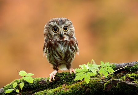 Cute Baby Owl - owl, tree, eyes, baby