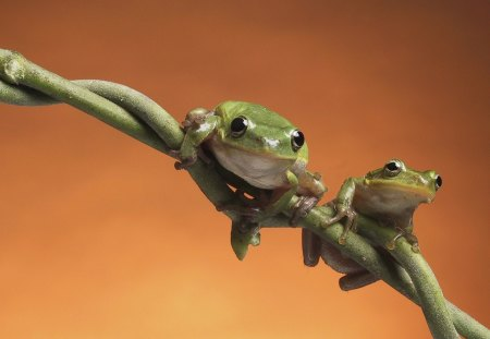 Frogs - green, looking, twig, sitting