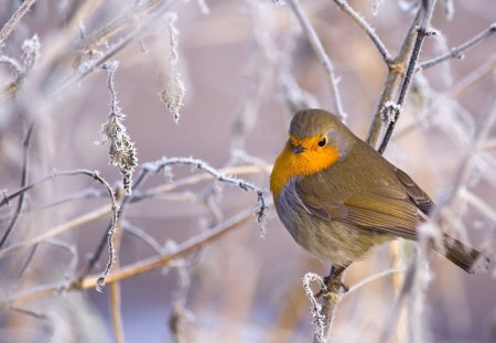 Beautiful Robin in Winter - robins, animals, winter, birds