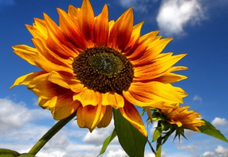in the sun - green, in the sun, flowers, summer, sky, cloud, blue, yellow, sunflowers, nature