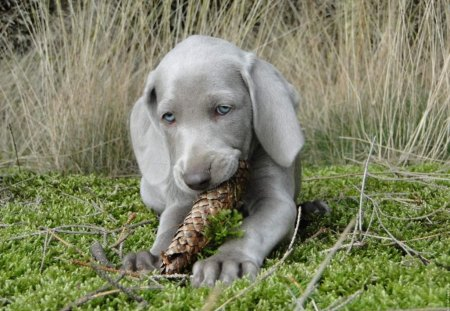 I'm busy with a fir cone - green, animals, fir cone, lovely, blue eyed, puppy, gray, dogs, different, fresh, gress, sweet