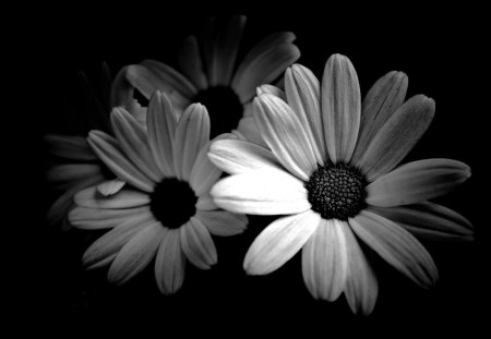 Black And White Daisies - Flowers & Nature Background ...