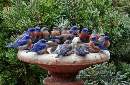 thirsty birds - fountain, garden, shrubs, birds