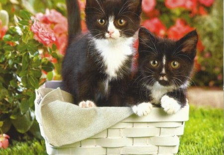 Black and white kittens - Cats & Animals Background ...