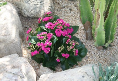 Little Pink flowers at the pyramid of Edmonton , Alberta - green, flowers, photography, Pink, cactus, stones