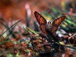 Mocco Butterfly