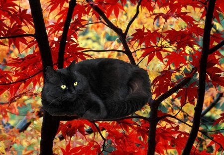 Black cat red autumn cats animals background for Gatti sfondi desktop gratis