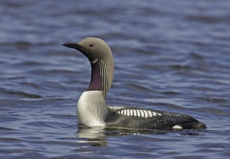 Black Throated Diver - black throated diver, diver birds, bird, birds