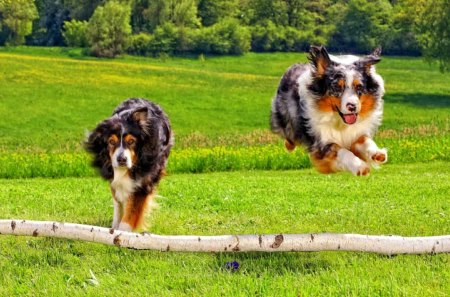 Australian shepherds - field, running, meadow, jumping, animals, forest, summer, grass, dogs, australian, park, green, shepherds