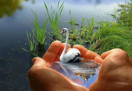 distant - swan, grass, water, hands