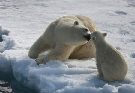 SWEET KISS FOR LISA (Giggles79) - mums and kids, ice bears, motherhood, arctic, bears, ice, antarctica, cubs, mothers love, snow, winter, polar bears
