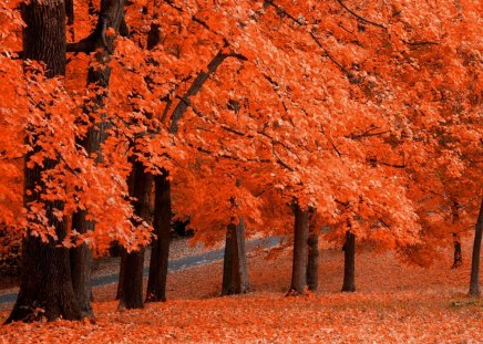 ORANGE Autumn - orange, trees, colorful, leaf, brown, bark, bright, tree, fall, autumn, leaves, forest