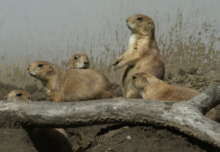 Prairie Dog Family - zoo, animals, rodents, family