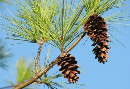 Pine Cones Against A Blue Sky - pine, pine cones, autumn, fall, sky, nature, trees