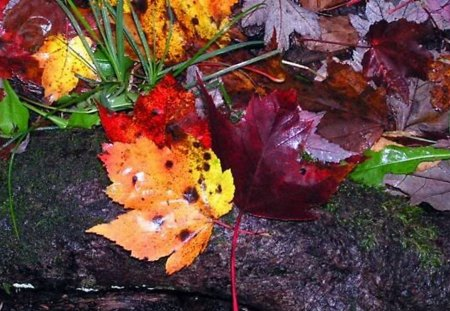Wet Leaves on a Log - leaves, rain, colorful, nature, tree, forest, fall, autumn