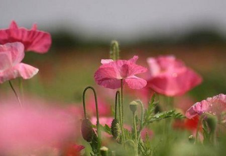 A Poppy Story - poppy, flowers, beauty, pink