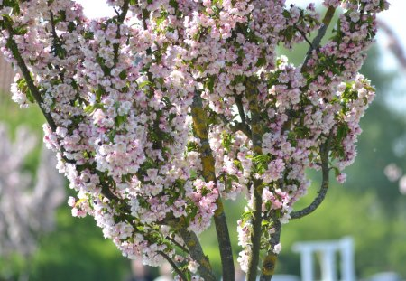 Pink blooming tree - tree, bloom, spring, nature