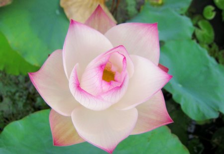 Delicate beauty - beautiful, lotus, delicate, purity