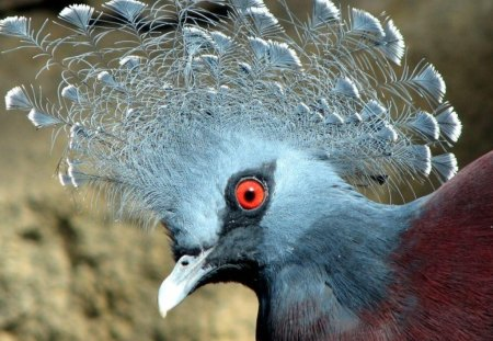 Pidgeon - wings, beak, brown, blue, crown, red eye, animal, bird, frill, red, nature, eye, feathers