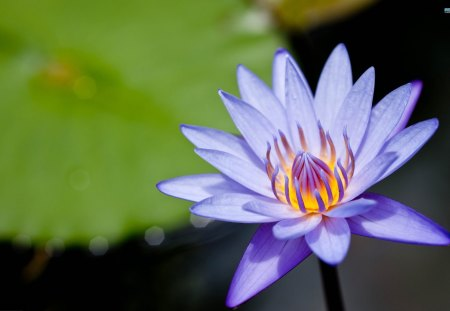 Purple Water Lily - flowers, nature, water lily, lily pad