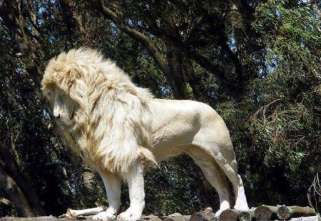 White Lion - animals, other, lion, cats, white lion, nature