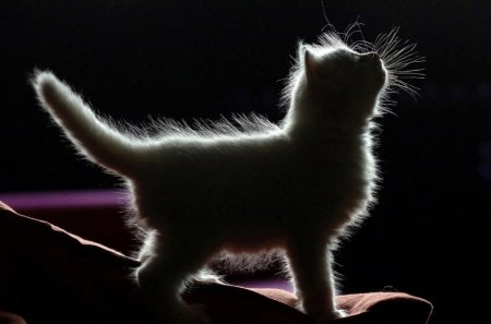 Kitten Silloette - furry, tail, paws, soft, cute, animal, baby cat, child, fur, adorible, small, kitten, cat, fuzzy