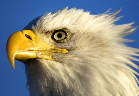Bald Eagle - eagle, bird, beak, bird of prey, bald, feathers, large