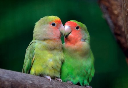 Love Birs - gree, wings, lovebirds, blush, pretty, bird, love, red, feathers